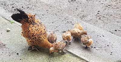 mediation-animale-poules-kinai