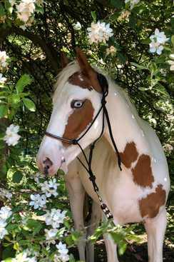 mes-chevaux-et-poneys-mediateurs-joker
